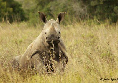 Südafrika Hillsnek Safari Camp Amakhala Game Reserve Garden Route Nashorn