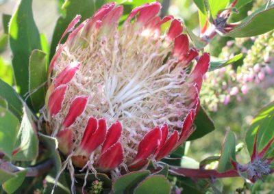 Südafrika Nationalblume Protea