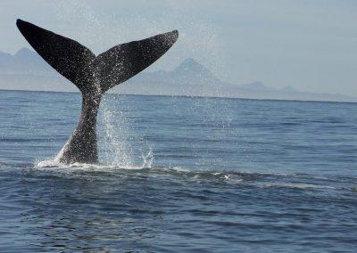 Südafrika Wale
